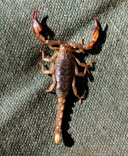 Scorpion at Lodgepole, Sequoia National Park, Giles Timms 2009